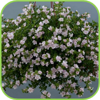 Bacopa Scopia
