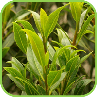 Bay_leaf_thumb