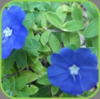 Evolvulvus glomeratus - Blue daze