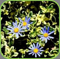Felicia amelloides - variegata