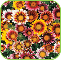 Gazania perennial varieties