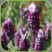 Lavender- Kew Red