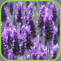 Lavender_Candicans_thumb