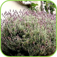 Lavendula dentata - french grey lavender
