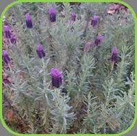 Lavendula  - stoeches french lavender