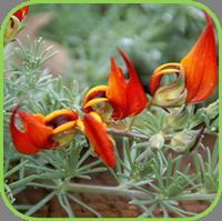 Lotus berthelotii