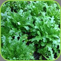 Lovage lettuce