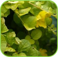 Lysimachia nummularia - Aurea