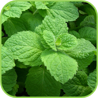 Mint- Apple mint