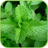 Mint- Spearmint