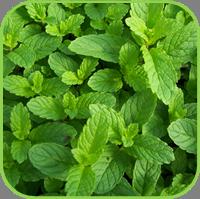 Mint- garden mint