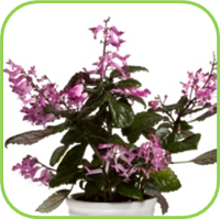 Plectranthus- Mona lavender