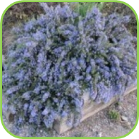 Rosmarinus officinalis - McConnells blue