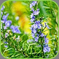 Rosmarinus - tuscany blue