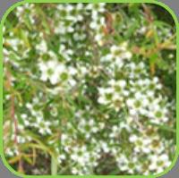 Tea tree - lemon scented