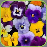 Viola sorbet