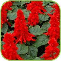 Salvia bright red
