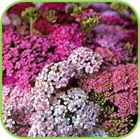 Achillea- summer pastel mix
