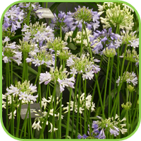 Agapanthus blue boy