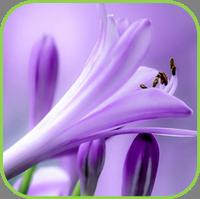 Agapanthus- purpleicious