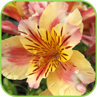Alstroemeria nana