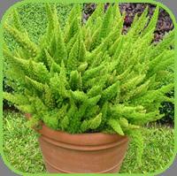 Aparagus densiflours