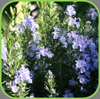 Blue Rosemary