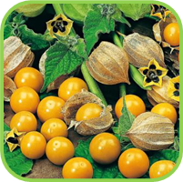 Cape_gooseberry_thumb