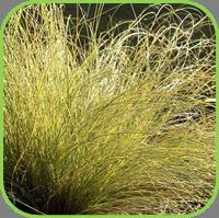 Carex - frosty curls