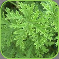 Citronella Pelagonium