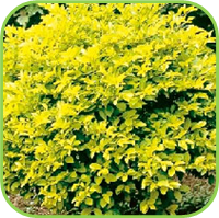 Duranta erecta - Gold