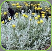 Dwarf cotton lavender