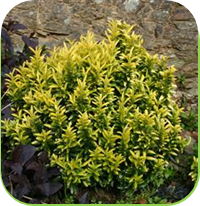 Euonymus - Gold dust
