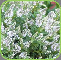 Hebe range - Andersonii variegata