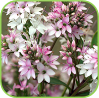 Hebe range - Fransiscana variegata