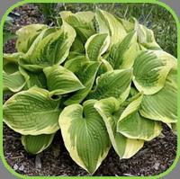 Hebe x andersonii - variegata