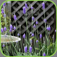 Lavender- fern leaf