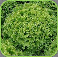 Lettuce - multi leaf range