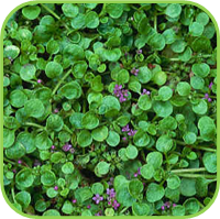 Mint- Lawn pennyroyal