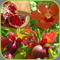 Pomegranate Punica granatum