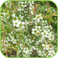 Tea tree - lemon scented