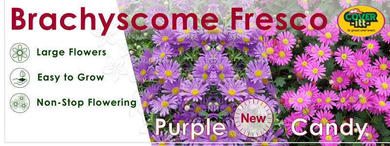 Brachyscome Fresco Candy and Purple