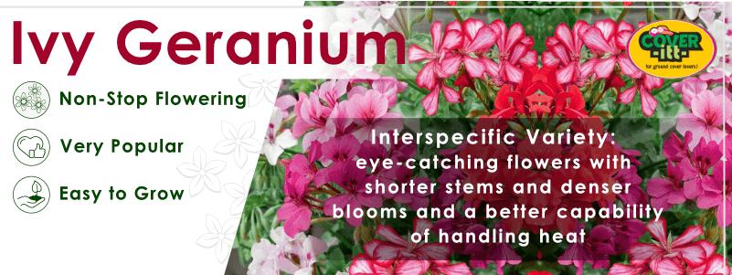 Interspecific Ivy Geranium